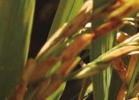 Novas variedades de arroz para o Rio Grande do Sul