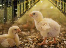 """Entramos na era da """"Avicultura de Precisão"""""""