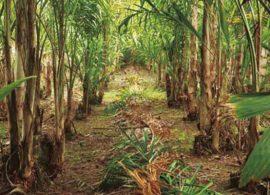 Palmeira pupunha ajuda na preservação de árvores nativas