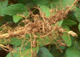 É fundamental combater os nematóides na soja