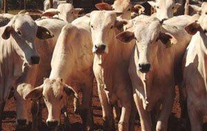 Tirando o máximo do gado