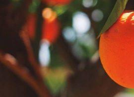 I.A. automatiza contagem de frutos em laranjais