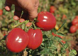 Garanta maior produção de tomate através de irrigação por pivô