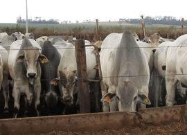 Confinamento Monte Alegre vai terminar 50 mil animais este ano
