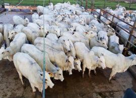 Circuito Nelore de Qualidade terá 1.300 animais em RO