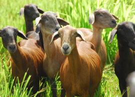 Criadores de ovinos receberão treinamento em controle de verminoses