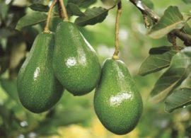 Produtores de abacate querem conquistar o mundo