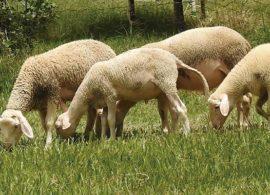 Produtor aposta com sucesso no queijo de ovelha