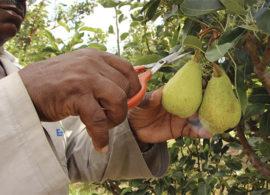 Com irrigação, dá para plantar pera no Nordeste