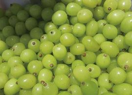 """Primeira """"uva gourmet"""" do Brasil faz sucesso no exterior"""