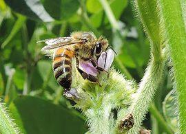 Abelhas e agricultores são parceiros de sucesso