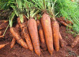 Embrapa lança cenoura para sistema orgânico