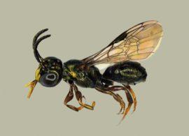 Nova espécie de abelha é descoberta em Goiás